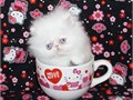 Rare Show Quality Teacup Blue Eyed White male Persian Kitten available as a Pet
