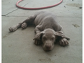 Beautiful 2 months old weimaraner puppies for sale We have 2 males The asking price is 750 For an