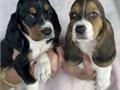 Hi I have 7 basset hounds available 4 girls-pink background 3 boys-blue background 8 weeks old