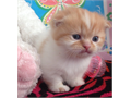 Rare Scottish fold kittens MaleFemaleNeed to rehome3 months oldText 901-4