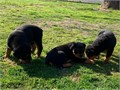 Purebred German Rottweiler puppiesWe have available a beautiful litter of Purebred German Rottweil