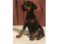 AKC Doberman pups available shots up to date papers in hand  tails docked dew claws removed  Euro