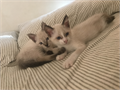 2 beautiful Siamese kittensBoth males litter box trained friendly and playful You wont regret