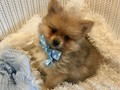 Beautiful registered Pomeranian male puppy very sweet and loving temperament wonderful family pet V