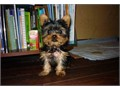 teacup Yorkie puppies ready for you and your familyWe have a litter of Teacup Yorkie PuppiesThere