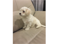 Pure Maltese  8 weeks old male puppy