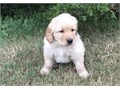 AFFABLE Golden retriever puppies availableThese puppies akc registered  vet ch