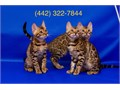 Hi We are Rehoming Purebred Hypoallergenic Bengal Kittens The kittens are 9 weeks old already Vet