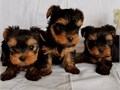 AKC registered Yorkie puppies They are outstanding quality yorkies and They lov
