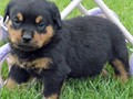 ROTTWEILER PUPPIES AVAILABLEAMAZING PUPPIES WITH BIG HEAD EXCELLENT BONE AND GREAT TEMPERAMENT 1