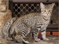 American Bobtail Kittens Very Bobcatty gorgeous brown spotted tabby shorthair females true champi