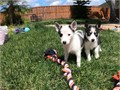 Pomsky Puppies Ready for their new forever homes Now FOR MORE INFORMATION AND P