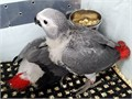 Male and female Congo African Grey Parrots currently in need and searching for a very loving and sup