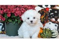 3 Beautiful Maltese puppies for sale mum has fantastic temperament and so does dad puppies will be