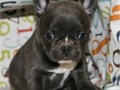 We have many outstanding French Bulldog puppies available We strive for the bes