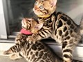 Hello we have a litter of 7 bengal kittens seeking for new homes Please text Melina only at 1 985