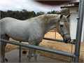 Amazing white Aztec horse with papers Has been in training to do tricks Asking for 10000 or best