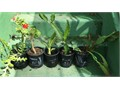 1 gallon your choice 5 Cash Only each Night Blooming CereusOrchid Cactus White Flowers-Geranium R