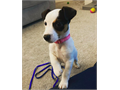 Trained Jack russel pups Please text us at 707 x 346 x 48 42 or email us at jamesadams3813gmail