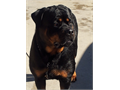 AKC Registered Rottweiler Puppies Male Female  150000 Both parents on-site Excellent tempermen