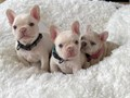 they are all 10 weeks lovable and adorable friendly with other pets