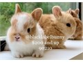 By appointment only in 90210Baby purebred dwarf bunnies HLops Lions Net