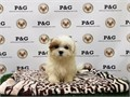 Breed  MalShi Maltese  Shihtzu MixNickname PennyDOB May 01 2017Sex  FemaleApprox S