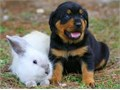 Beautiful Rottweiler puppies for sale males and female Family reared wormed vaccinated and vet ch