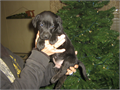 AKC Registered Lab puppies I have 3 black males 1 black female Wormed and shots ready to go Dec