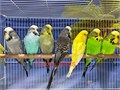 Beautiful Handfed English Budgies starting at 195 and up Mutations Available Prices varies on co