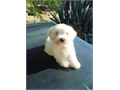 SHIH TZU PUPPY white 10 weeks old includes the shots with health booklet shes  beautiful loving