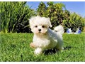 Harrison is a Hilarious male Maltese This AKC registered boy is the Comedian around San Diego He h