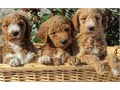 Nice Goldendoodle puppies will be nice to meet you and come to pick one if these