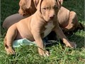 American Pit Bull Terrier   pups ready for a new homeThey are akc registered and are good a