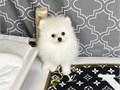 Chanel White Pomeranian