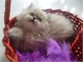Gorgeous Persian Kittens Doll faced very healthy fluffy furry and funThe kittens have great dis