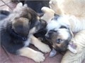 hi i have  german shepherds i need to rehome  they are  up to date on shots they are great with oth