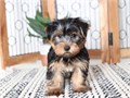 Wholesome Yorkie PuppiesI have some adorable yorkie puppies ready to go home t