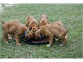 AKC Boxers full AKC registration parents on site 5 males Shots wormed every two weeks tails and