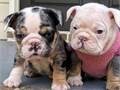 english bulldog puppies ready and looking for their forever homeshouse brokena