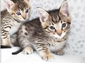 Savannah Kittens Available They are Tica Registered Both males and females and ready to go into ne