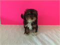 Chocolate multii color maltipoo female ready to go home by a licensed breederloving friendly pers