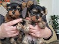 My husband and I are offering a set of two cute baby yorkie puppies for adoption They are 10 weeks