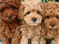 Multiple cavapoo puppies for sale text or call 626618 5458