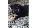 Beautiful AKC German Shepherd Puppies  5 Male 1 Female 1st ShotsWormed  Parents on site   400