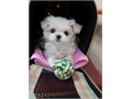 SUPER TINY TEACUP MALTESE FEMALE  0530 DOB WEIGHS ONLY 15LBSBABYDOLL FACE LOVING PERSONALITY