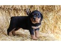 home a Rottie pup now 330-661-3616 we have a male and female left Text for more details