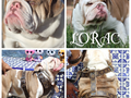 Rare Lilac English Bulldog StudThis boy is 17 months old Tripple carrier with a loving temperamen