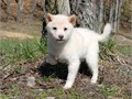 Shiba Inu Male Female Small  70000 Beautiful smaller red and cream puppies They have terrifi
