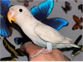 Beautiful Handfed Baby White Fischer Lovebird for 250 Now Shipping Nationwide USA No Emails Pleas